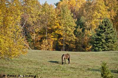 fall hill rocky mountain horse